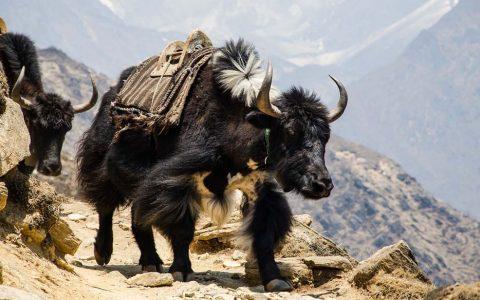 Yak - Himalayas
