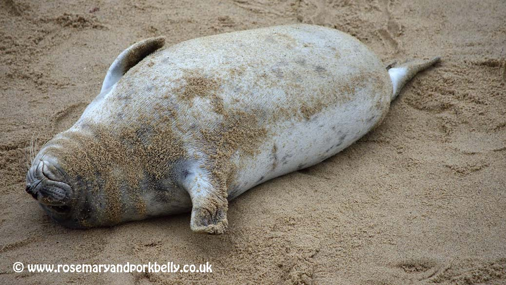 Young seal - Horsey Norfolk